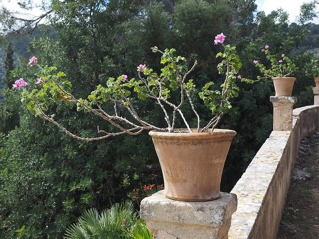 ゼラニウムの花が咲かない?木質化