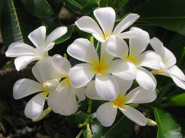ジャスミンの花が咲かない原因