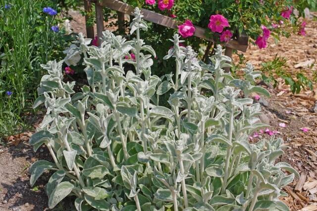 ラムズイヤーの地植えや鉢植えでの育て方