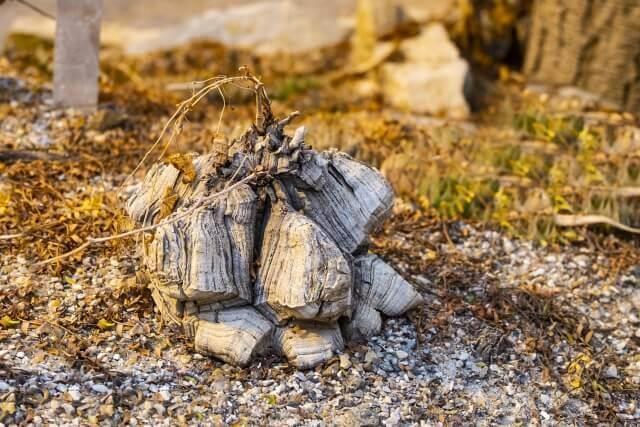 亀甲竜の育て方