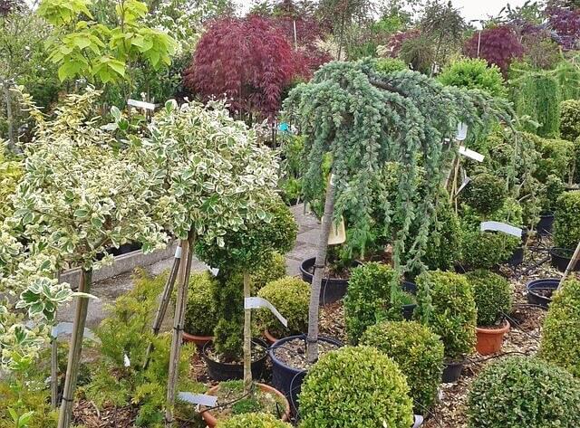 スモークツリー鉢植えでの育て方
