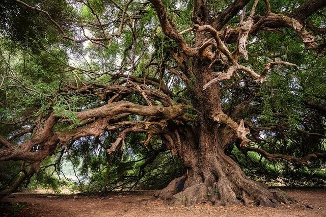 オリーブの木鉢植えでの育て方