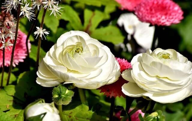 ラナンキュラスの花言葉や由来