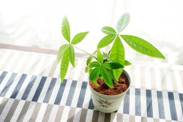 観葉植物パキラの室内での育て方