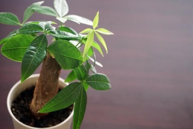 パキラの葉が枯れる原因・対処法