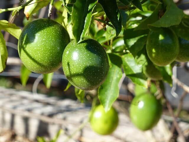 パッションフルーツ育て方・越冬