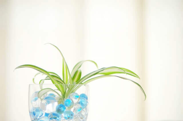 オリヅルランの種類一覧