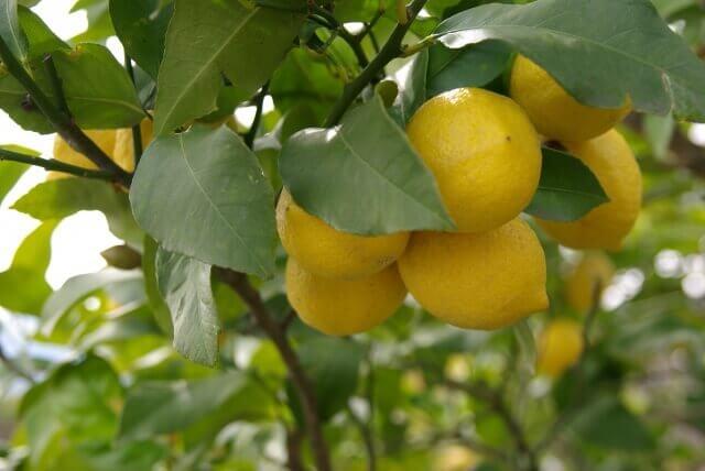レモンの木冬越しや防寒対策