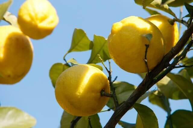レモンの木の害虫対策