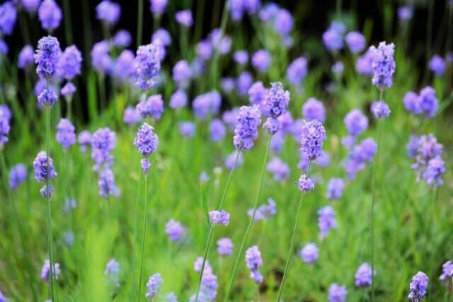 イングリッシュラベンダー開花時期